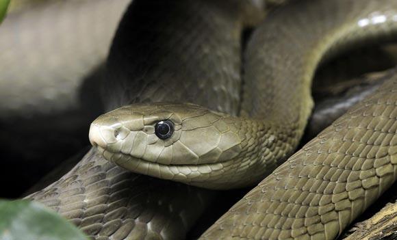 Житель США дает змеям кусать себя, чтобы создать вакцину от яда